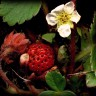 Fragaria_chiloensis_7